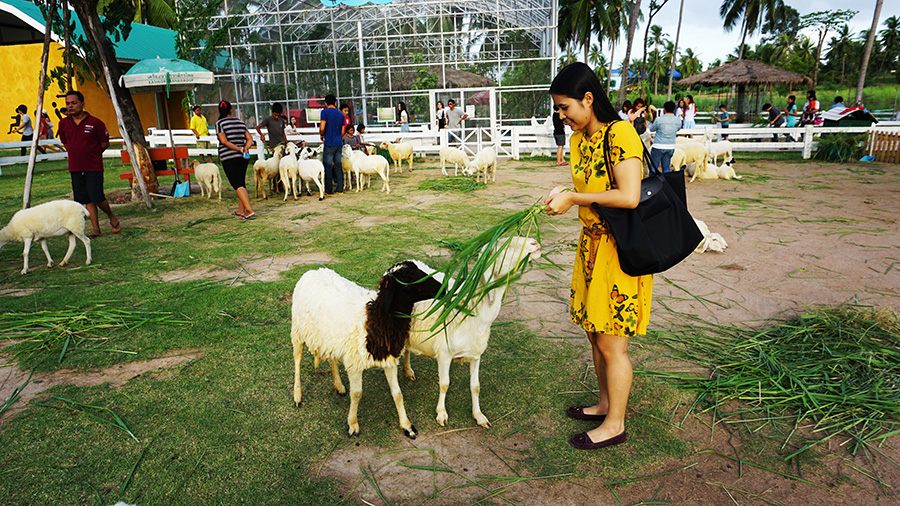 Pattaya Sheep Farm 15