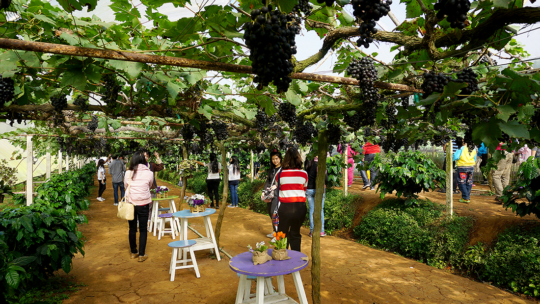 Eden Grape Farm 5