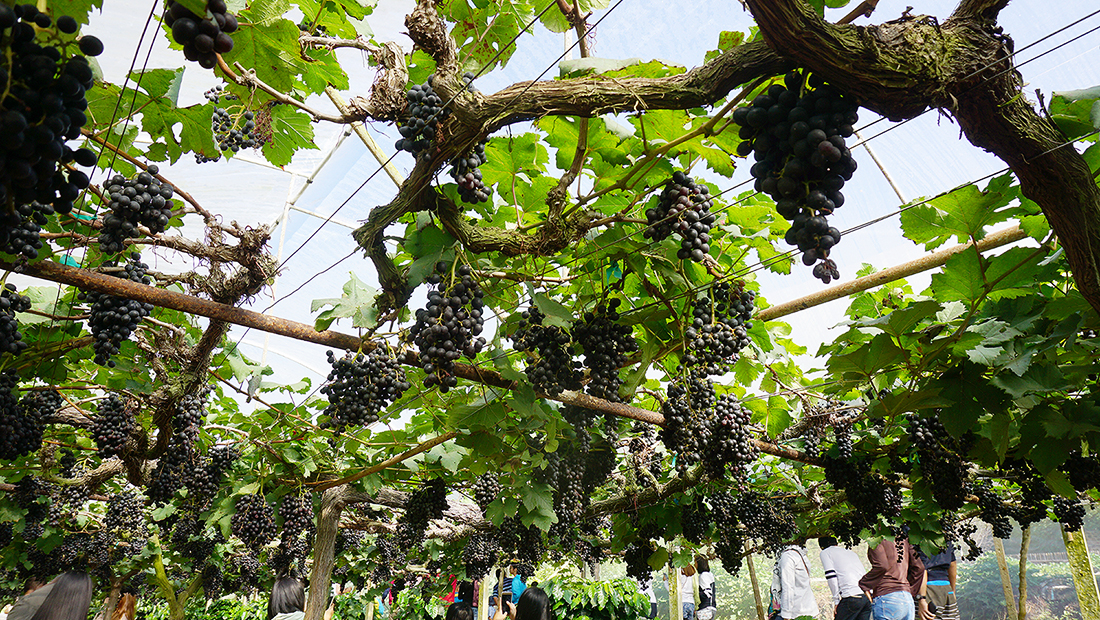 Eden Grape Farm 7